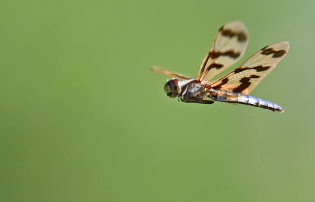 Rhyothemis flying. Photo: David Clode.