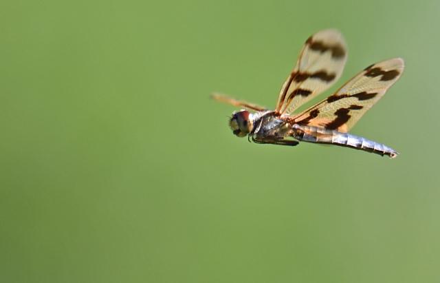 Rhyothemis flying. Photo: David Clode.