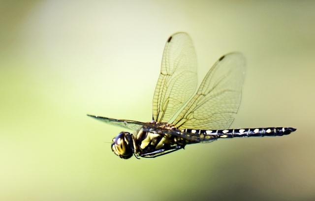 Hemicordulia australiae in flight. Cattana wetlands. Photo: David Clode.