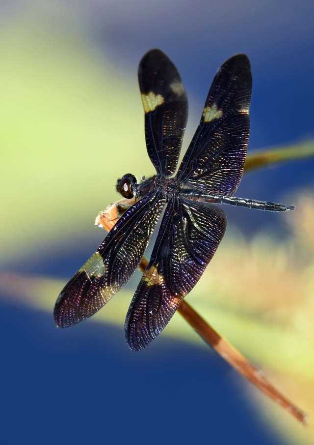 Rhyothemis princeps. Cattana. Photo: David Clode.