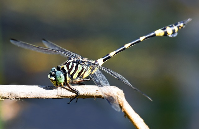 Ictinigomphus. Cattana wetlands. Photo: David Clode.
