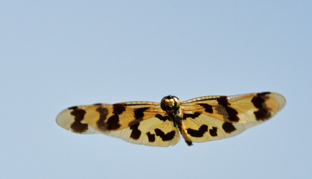 Graphic Flutterer flying. Photo: David Clode.