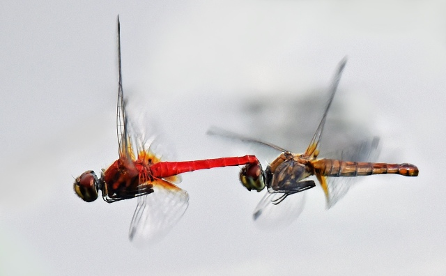 In this photo, the male (red) is most likley holding on to the female after mating, to guard against other males mating with her. Cattana wetlands. Photo: David Clode.