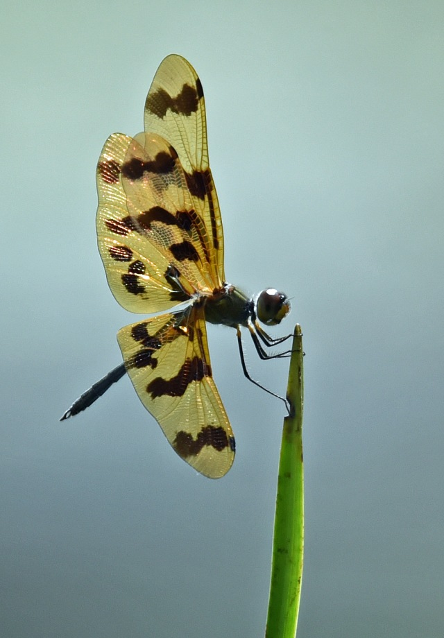 Rhyothemis graphiptera. Cattana wetlands. Photo: David Clode.