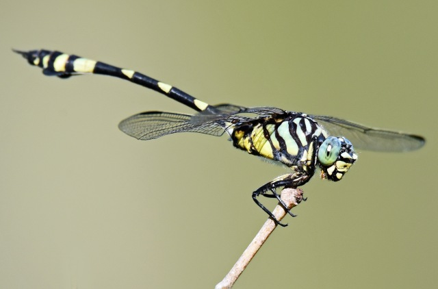 Ictinogomphus australis. Cattana wetlands. Photo: David Clode.