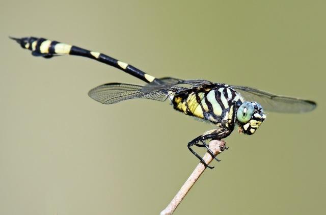 Ictinogomphus australis. Cattana wetlands. Photo: David Clode.
