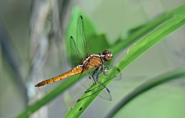 Dragonfly Cattana watlands. Photo: David Clode.