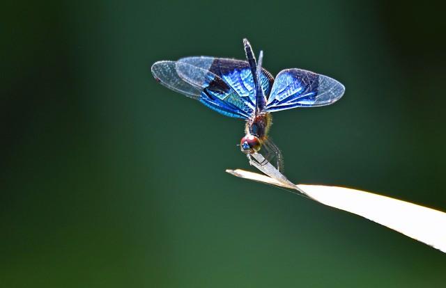 Rhyothemis resplendens. Photo: David Clode.