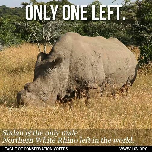 The last male Northern White Rhino in the wild.