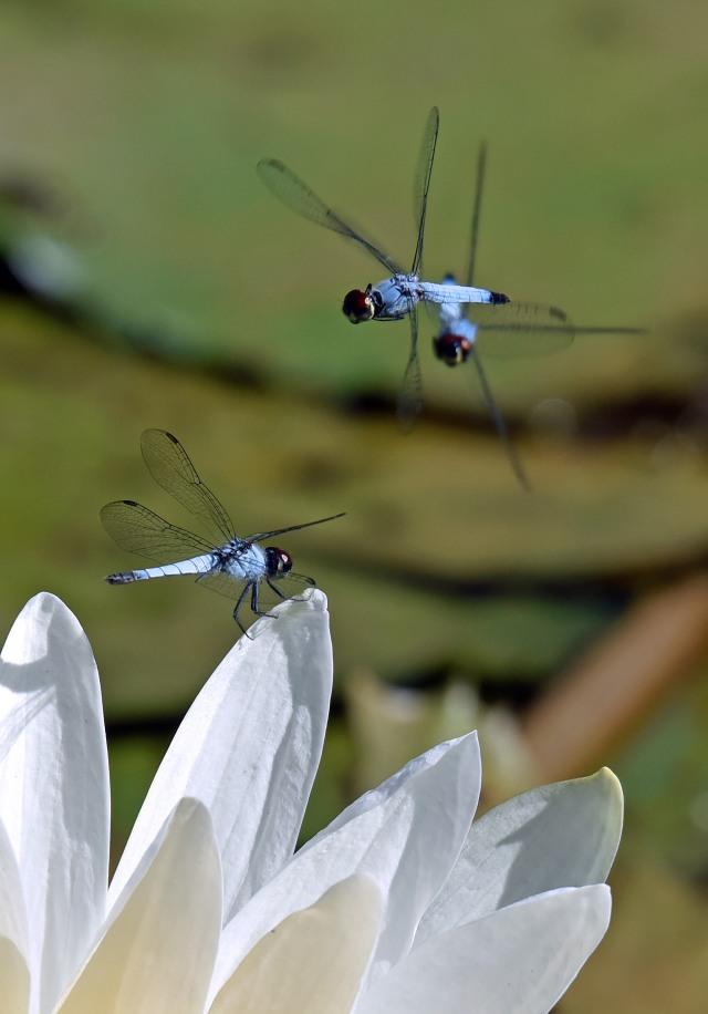 Disputed perch. Freshwater lake, Cairns. Photo: David Clode.