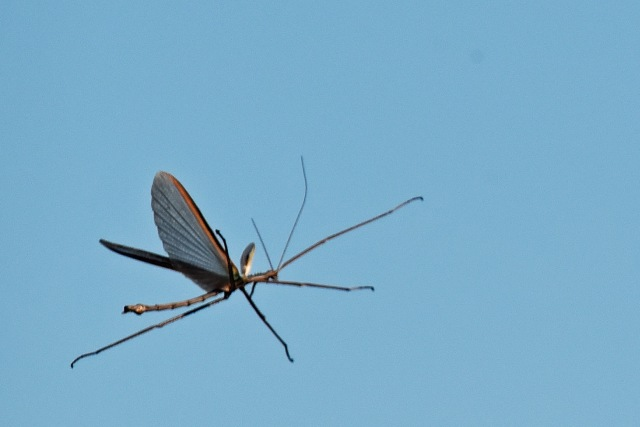 Flying stick insect. Yorkeys, Cairns. Photo: David Clode.