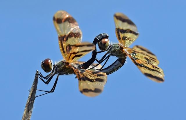 Mating Graphic Flutterer dragonflies. Rhythemis graphiptera. Cattana wetlands. Photo: David Clode.