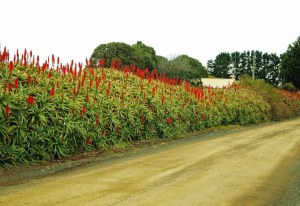 Aloe arborescens hedge.