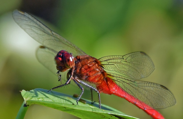 A dragonfly eating an insect or insects. It looks like it has perched to finish off its meal at leisure. Freshwater Lake. Photo: David Clode.
