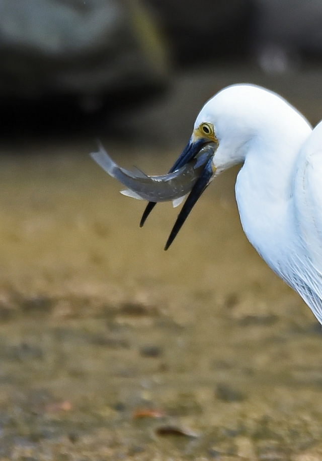 A lIttle Egret has caught a fish. Saltwater Creek, Cairns, Australia. Phot: David Clode.