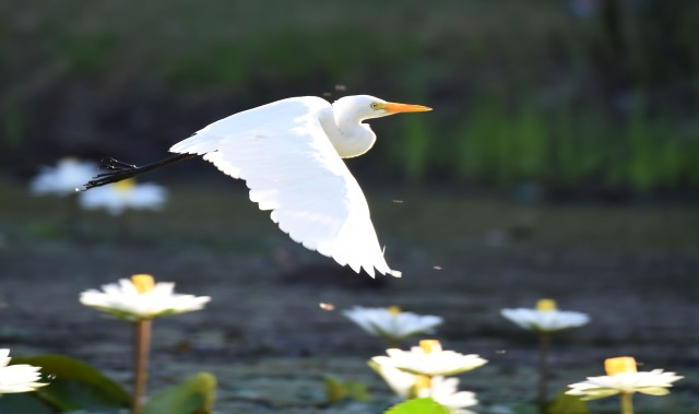 Flying egret. An intermediate egret flies across a water lily lake. Freshwater lake, Cairns, Australia. Photo: David Clode