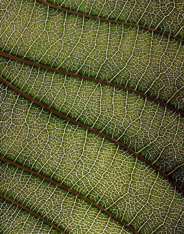 Gardenia leaf veins. Photo: David Clode.