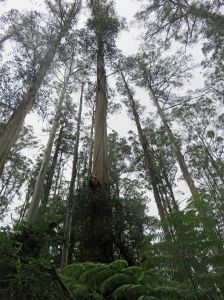 Mountain Ash forest, Kallista, Victoria, Australia. Eucalyptus regnans is the tallest flowering plant in the world. Photo: David Clode.