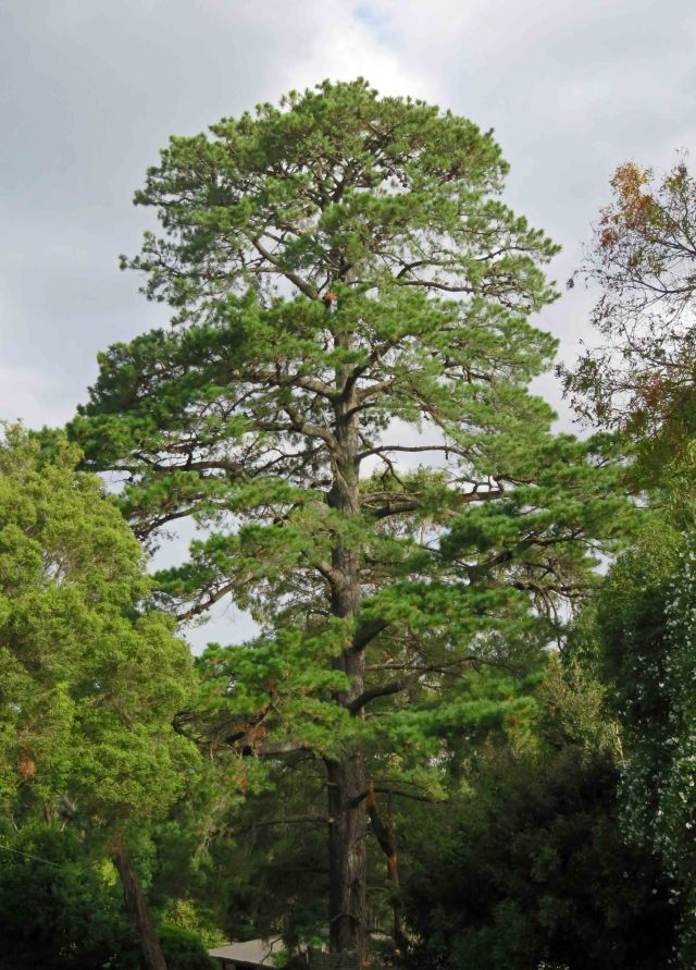 Pinus radiata Monterey Pine or Radiata Pine, a common forestry tree in New Zealand and Australia. Melbourne, Australia.