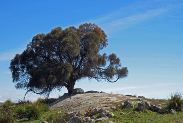 Coast Casuarina . The Gardens, Bay of Fires, Tasmania. Photo: David Clode.