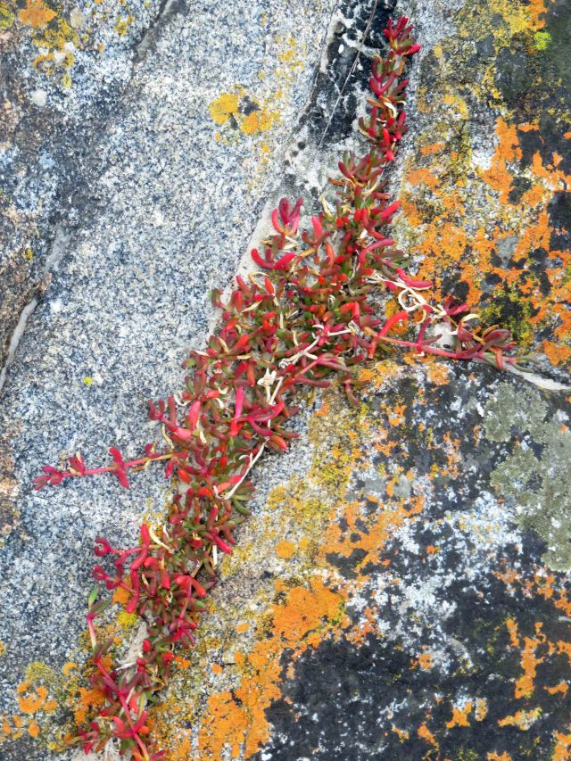 Aizoacea succulent surviving in crack in a rock next to the sea. Beerbarrel Beach, Tasmania. Photo: David Clode.