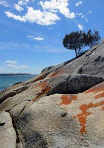 Growing on rocky ground. Coast She-oak looking like stone pines on the Mediterranean. Burns Beach, Tasmania. Allocasuarina verticillata.