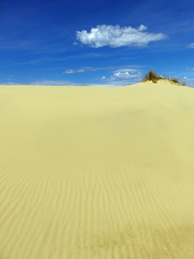 Tough grass, probably marram grass. Peron Dunes, Tasmania. photo: David Clode.