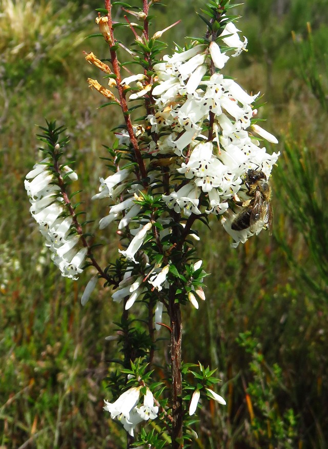 Bee visiting Epacris impressa in the above heathland. Photo: David Clode.
