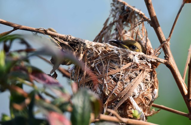 Honeyeater at its nest. Cattana Wetlands. Photo: David Clode.