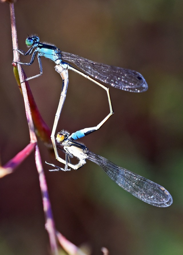 Mating damselflies. Photo: David Clode.