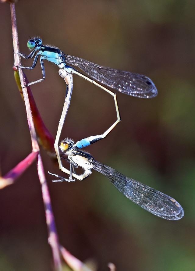 Mating damselflies. Photo: David Clode.