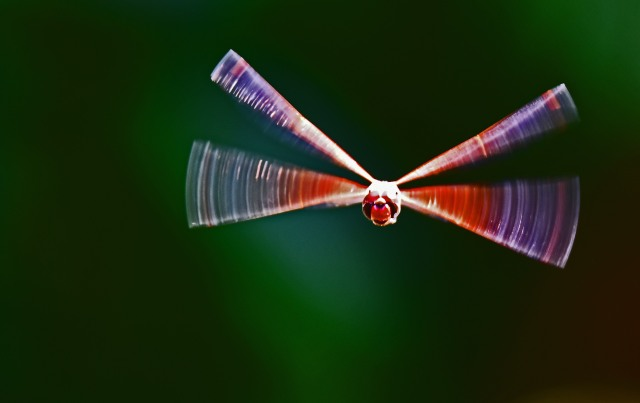 Flying dragonfly. An arty version, enhance with Photoshop. Tramea loewii, Freshwater lake, Cairns. Photo: David Clode.
