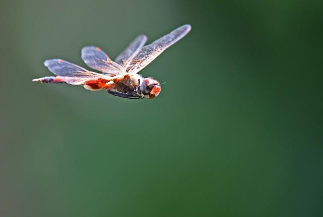 Tramea loewii in flight. Photo: David Clode.