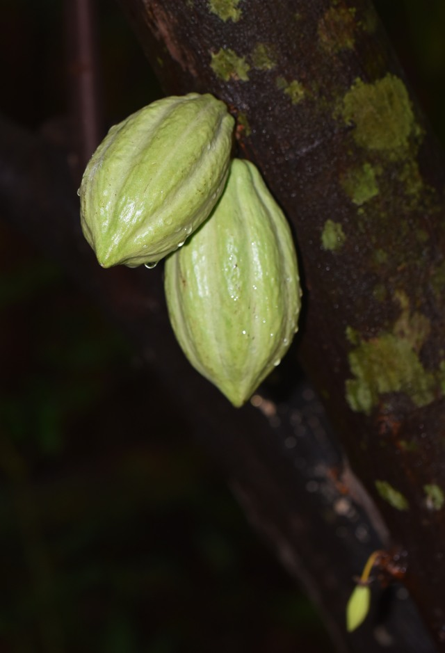 Cocoa pods. The food of the gods.
