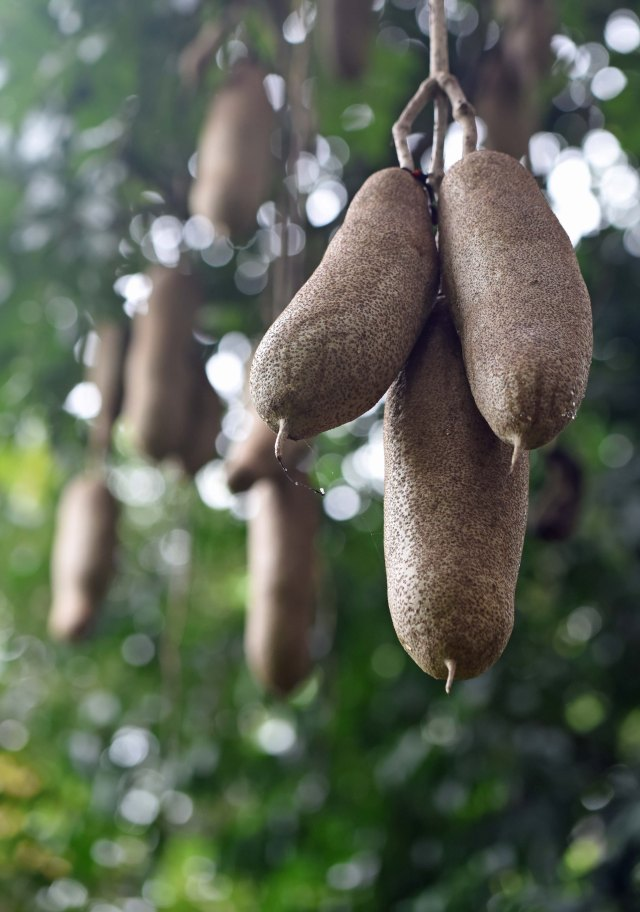 African Sausage Tree.