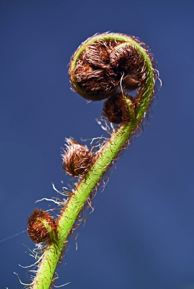 Developing frond of the tree fern Cyathea cooperi in my garden. Photo: David Clode.