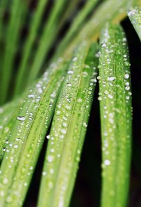 Rain droplets on a palm leaf. Photo: David Clode.