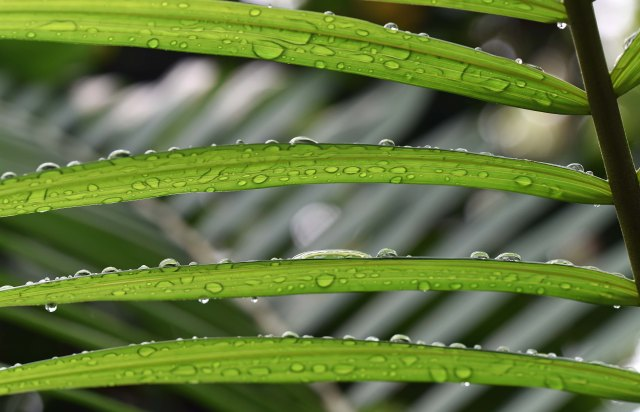 Rain droplets on a palm leaf 2. Photo: David Clode.