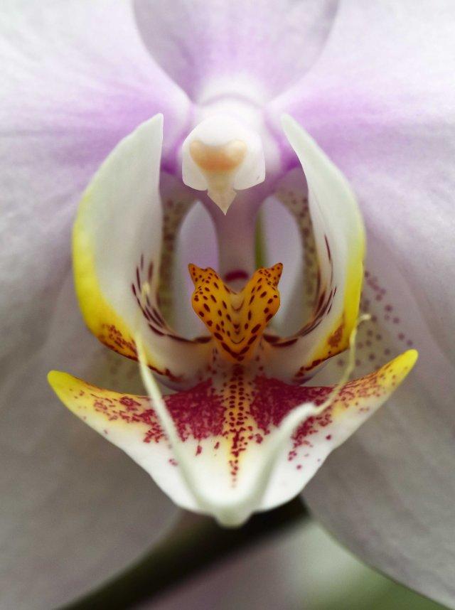 Phalaenopsis.