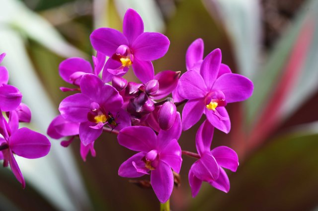 Chinese Ground Orchid.