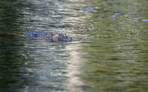 The croc approaches stealthily. Photo: David Clode.
