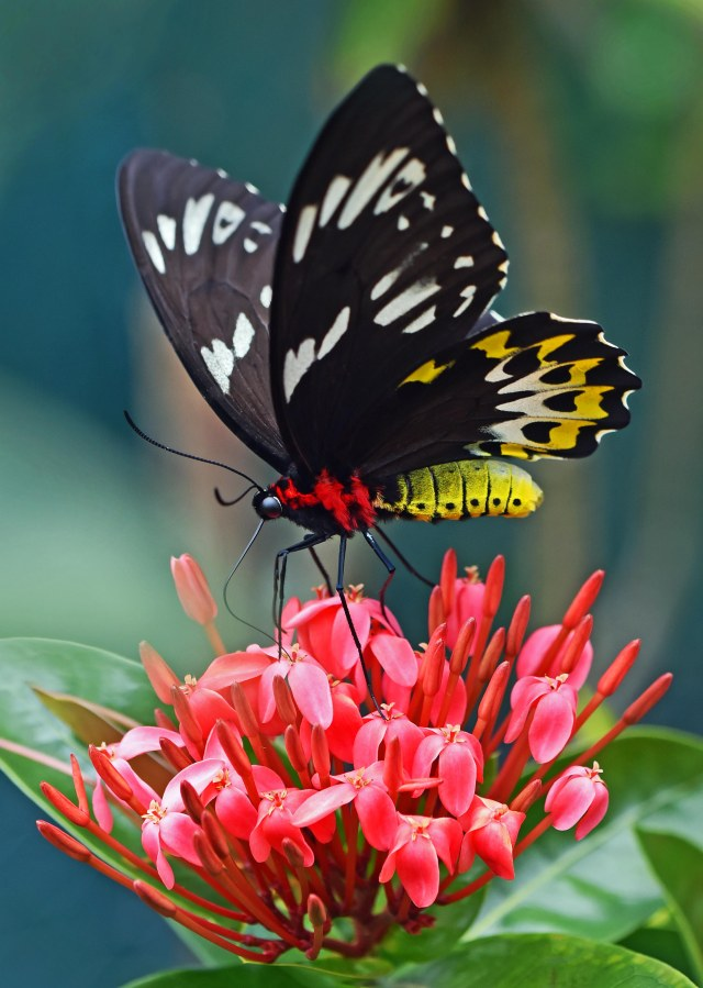 A female Cairns Birdwing on an Ixora flower. Wild, Kuranda, Australia. Photo: David Clode.