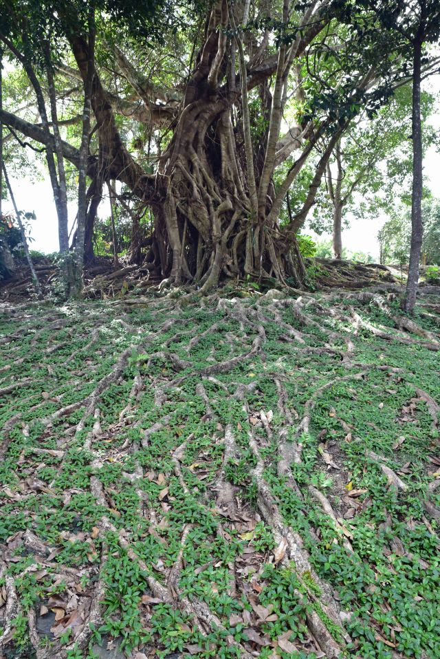 Fig tree with roots in the forground. Kuranda, Queensland Australia. Phoot: David Clode.