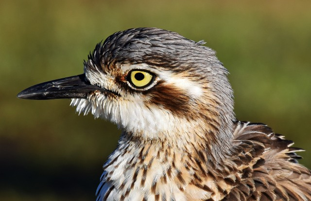 Bush Stone-curlew. Photo: David Clode.