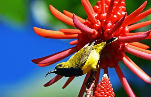 Yellow-bellied Sunbird (Olive-backed Sunbird), Erythrina indica flower. Photo: David Clode.