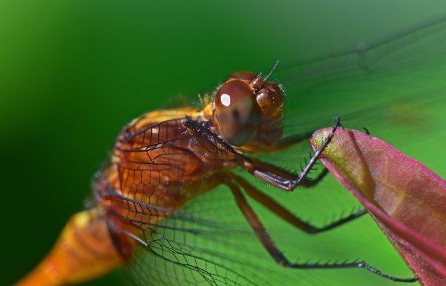 Dragonfly close up. Photo: David Clode.