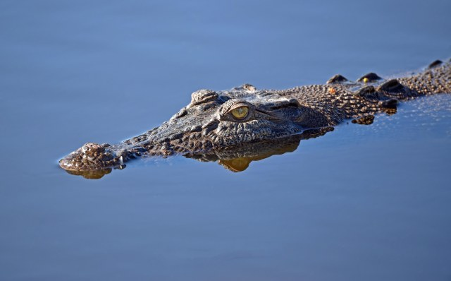 The crocodile checks me out from three or maybe four metres away, possibly sizing me up for a meal. Phot: David Clode.