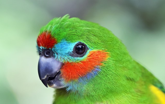 Double-eyed Figparrot. Birdworld Kuranda. Photo: David Clode,