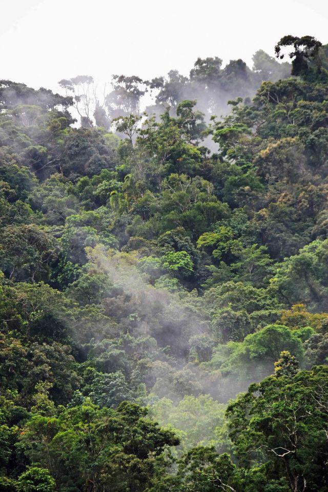 Misty Rain forest. Mt Whitfield, Australia. Photo: David Clode.