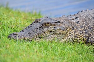 Crocodile portrait. Photo: David Clode.